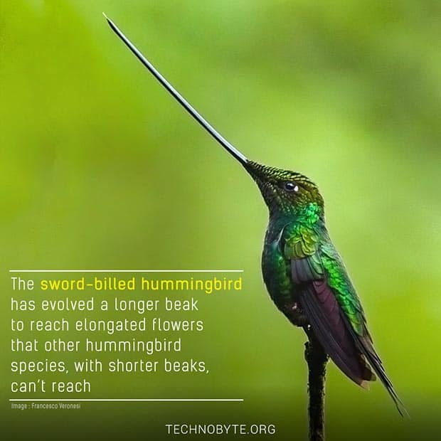 Sword-billed hummingbird interesting fact wildlife bird FI