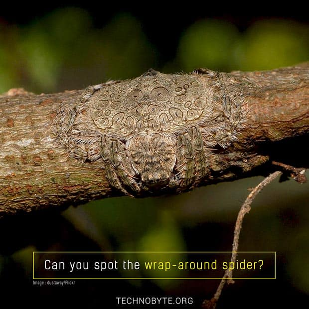 wrap-around spider australia interesting fact tb
